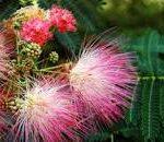 mimosa u japon plante toxique danger chats