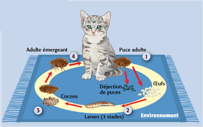reproduction-puce-chien-chat-lapin-herisson