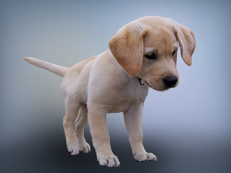 #chiot #gestation chez la chienne #femelle chaleurs