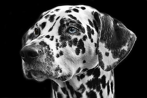 Fiches races de chien