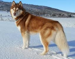 husky neige