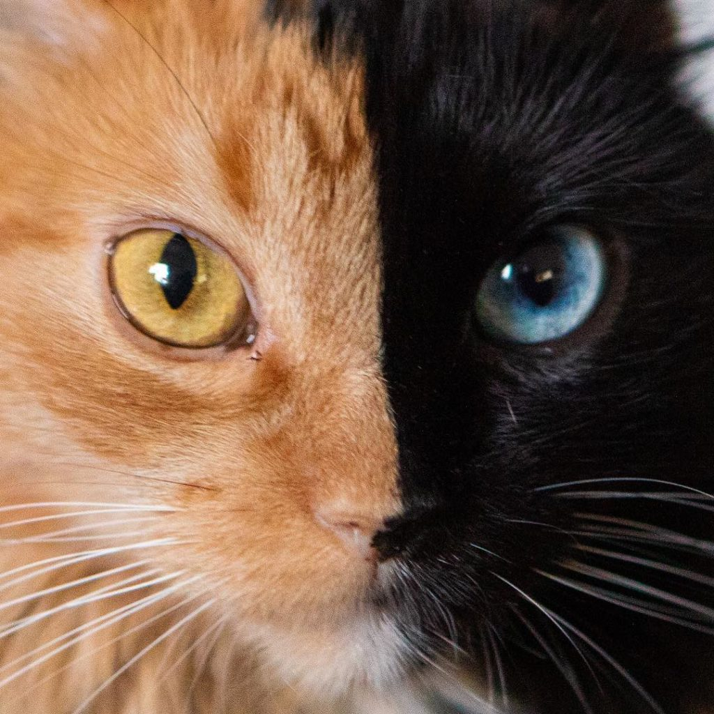 Connaissez vous les chats double faces ?