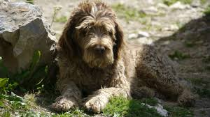 chien d'eau portugais