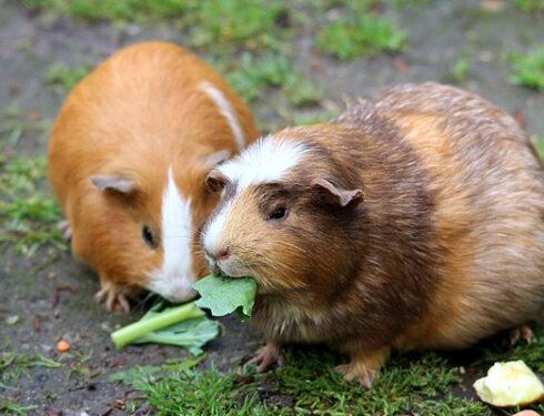 cochon-inde-planete-animale
