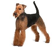 Airedale-Terrier-race-de-chien