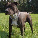 American-staffordshire-terrier-race-de-chien