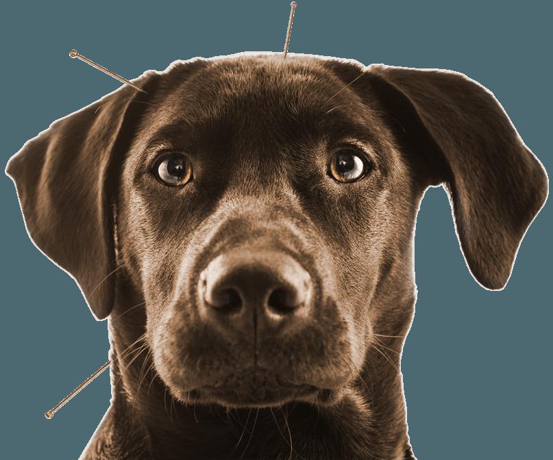 L'Acupuncture pour les animaux